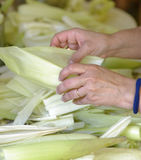 Preparing tamales. Busy hands at work preparing a saucepan full of corn skins ready to be used in the process of making maize tamales, lima, peru royalty free stock image
