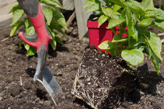 Preparing to plant pepper plants in the garden. Planting peppers in the garden Royalty Free Stock Image