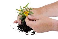 Preparing to pot plant Stock Image