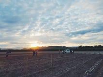 Prepearing sockerrörfält Arkivfoto