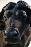 Preperated buffalo portrait. Preperated stuffed buffalo portrait on an expo Royalty Free Stock Images