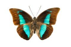 Prepona demophon extincta. Isolated on white background Stock Photography