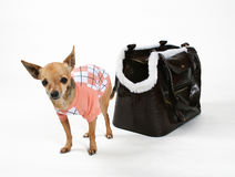 Preppy dog. A tiny chihuahua with a sweater and a bag Royalty Free Stock Photography