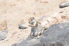 Preppy Eekhoorn die van Australische Oorsprong een Pinda in Costa Calma eten 3 juli, 2013 Costa Calma, Fuerteventura, Canarische  stock afbeeldingen