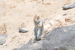 Preppy Eekhoorn die van Australische Oorsprong een Pinda in Costa Calma eten 3 juli, 2013 Costa Calma, Fuerteventura, Canarische  royalty-vrije stock foto