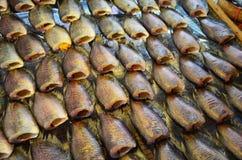 Prerogative del pesce di gorami nero Fotografie Stock