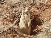 Preryjnego psa pozycja w dziurze w Bryka jaru parku Utah obraz stock