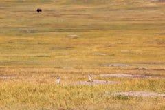 Preryjny pies i żubr w badlands parku narodowym fotografia royalty free