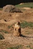 Preryjny pies przy Minnestoa zoo Zdjęcie Stock