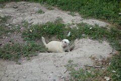 Preryjny pies w południowym Dakota Obrazy Stock