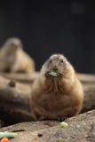 Preryjnych psów jeść (Cynomys ludovicianus) Fotografia Stock
