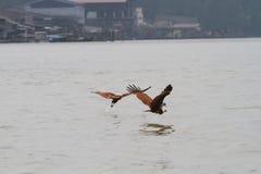 Presa de cogida del águila Foto de archivo libre de regalías