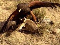 Presa de la lucha del halcón de Harris Imagen de archivo libre de regalías