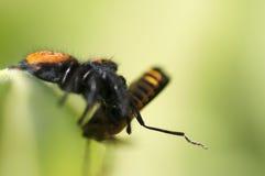 Presa de salto de la araña y del escarabajo Imagenes de archivo