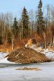 Presa del castor en invierno Foto de archivo libre de regalías