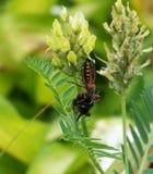 Presa del iracundus de Rhinocoris una abeja del manosear Imágenes de archivo libres de regalías