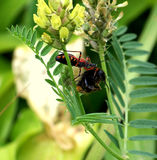 Presa del iracundus de Rhinocoris una abeja del manosear Fotografía de archivo