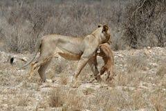 Presa del león Fotografía de archivo