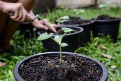 Presa della cura delle piante del melone Immagine Stock Libera da Diritti