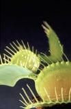 Presa della mosca del Venus Fotografie Stock Libere da Diritti