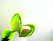 Presa della mosca del Venus Fotografia Stock