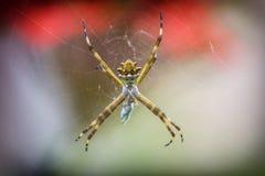 Presa que espera de la araña de plata del Argiope para en el web de araña imágenes de archivo libres de regalías