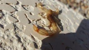 Presa que espera del escorpión para con el aguijón en foco fotografía de archivo