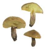 Presa sdrucciolevole, fungo commestibile di luteus di suillus isolato su fondo bianco Fotografia Stock Libera da Diritti