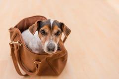 Presa sveglia russell canino in una borsa immagini stock