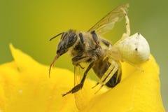 Presas de la araña del cangrejo en abeja Fotografía de archivo