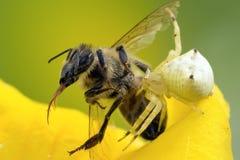Presas de la araña del cangrejo en abeja Imagen de archivo