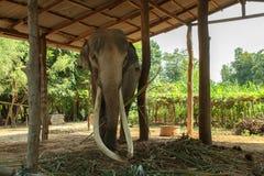 Presas longas grandes do elefante em Surin, Tailândia fotografia de stock royalty free