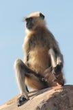 Presbytis Affe auf Fortwand Lizenzfreie Stockfotos
