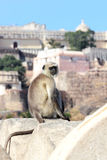 Presbytis monkey on fort wall - india Royalty Free Stock Images