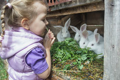 Preschooler blonde girl in warm hoodied violet nylon vest  feeding farm domestic rabbits with fresh red clover plants Royalty Free Stock Photo