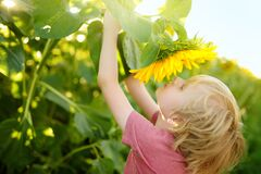 Free Preschooler Boy Walking In Field Of Sunflowers. Child Playing With Big Flower And Having Fun. Kid Exploring Nature. Baby Having Stock Images - 217580184