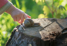 Preschooler child arm touching crawling on tree stump edible snail Stock Photography
