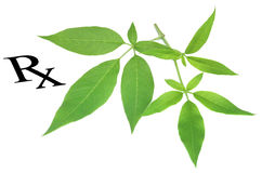 Prescribed medicinal Vitex negundo as herbal medicine Stock Image