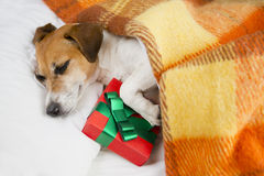 Present box gift with dog. Royalty Free Stock Photos
