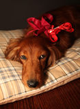 Present dog. Little dog with a red ribbon stock photos