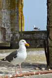 Birds of Alcatraz. The Alcatraz Island today is largely populated by these birds which were active and everywhere in the ruins. These two western gulls seemed Royalty Free Stock Photography
