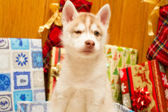 Present puppy Stock Images