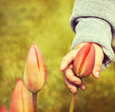 Present time. Little girls hand and tulip flower. Mothers day concept, 8th march or Valentines day Stock Photo