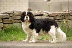Presentación arrogante del perro de aguas de rey Charles Foto de archivo libre de regalías