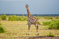 Presentación atractiva de la jirafa fotografía de archivo