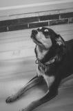 Presentación blanco y negro del perro imagenes de archivo