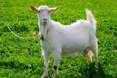 Presentación de la cabra Foto de archivo libre de regalías