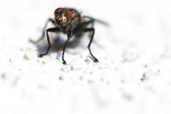 Presentación de la mosca Foto de archivo