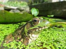 Presentación de la rana mugidora Imagenes de archivo