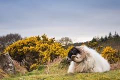 Presentación de ovejas Imagen de archivo libre de regalías